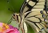Papilio machaon (macaone) (paolo-55) Tags: macro butterfly nikon butterflies natura d300 potofgold farfalle papiliomacaon macaone swallowtailbutterflies 105mmvrmicronikkor elitephotography themacrogroup macromarvels theperfectphotographer goldstaraward damniwishidtakenthat