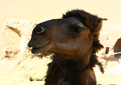 Are you taking a photo of me? (yewco) Tags: hotel iran persia camels yazd     nearyazd caravansaraizeinodin