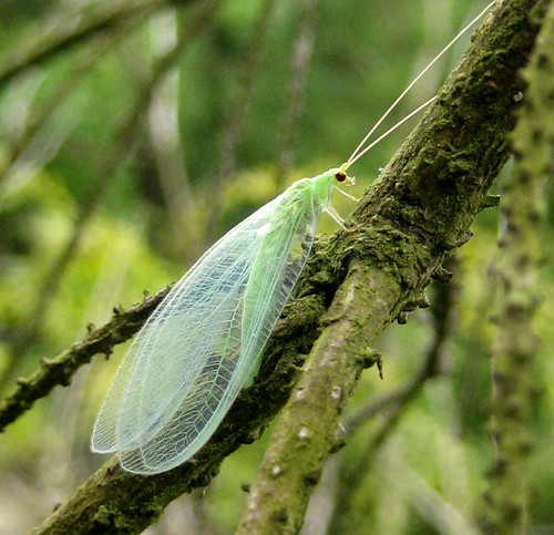 green insect Kelburn