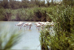 Flamingoes (Sophie Teunissen) Tags: pink blue france bird water blauw minolta flamingo frankrijk vogel maxxum roze camarque 400si flamingoe
