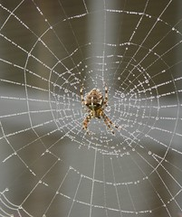 """272: Cross Orb Weaver Spider (archers30 - """"thanks for all the fish"""") Tags: uk white closeup digital spider dewdrops cross web hertfordshire orbweaver codicote archers30 tripleniceshot"""
