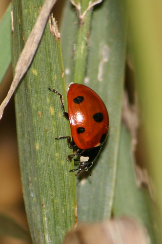 multi-colored asian lady beetle red with seven spots_12