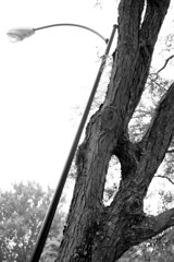 Holey Tree, Batman! (HappyPlatypus) Tags: blackandwhite tree streetlight hole kansas leavenworth strangetree gnarlytree holeinatree unusualtree fortleavenworth
