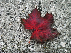 red (Olya Kay) Tags: red fall concrete leaf gray ort magicalmelody