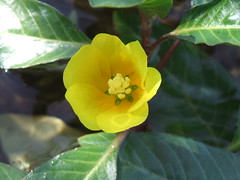 Ludwigia peploides ssp. Peploides (floating water primrose) (Howard Clark ッ) Tags: flower water yellow floating ssp primrose ludwigia peploides