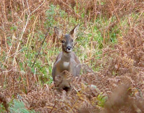 Suspicious deer