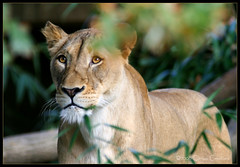 Beyond (Steven Fought Photography aka: FtFt) Tags: nature animal cat wildlife lion bigcat beyond lioness specanimal animalkingdomelite