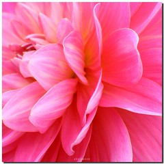 PINK DAHLIA (PHOTOPHOB) Tags: pink dahlia flowers autumn summer plants plant flores flower color macro primavera nature fleur beautiful beauty sex fleurs petals spring colorful flickr estate blossom sommer herbst natur flor pflanze pflanzen rosa blumen zomer verano bloom otoo blomma vero dalie t blume fiore blomst printemps asteraceae outono dahlias dalia lenz frhling bloem jesie floro kwiat dahlie lato lto sonbahar dahlien kvt blomman efterr blomsten dalio colorphotoaward colourartaward natureselegantshots photophob alemdagqualityonlyclub auniverseofflowers