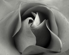 Rose in B&W ( victorgil84  Madrid) Tags: park parque white black london blanco rose real negro royal rosa londres formas espiral regents victorgil84 victorgil victorgilgazapo