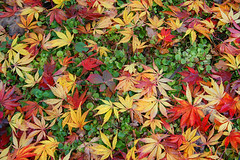 Autumn leaves at Wisley (Studyjunkie) Tags: autumn autumnfoliage red england green leaves garden maple surrey autumnleaves foliage acer wisley rhs royalhorticulturalsociety pianeta autumncolour pianetaterra orangeandyellow colorphotoaward