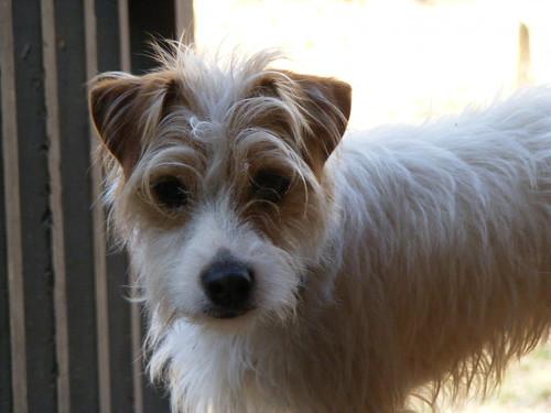 Dulce - Lori's Jack Russell Terrier