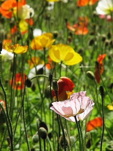 Australia, Melbourne: Flower love spring