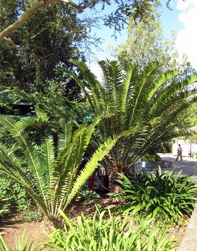 encephalartos longifolius