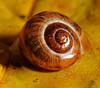 Garden Snail (NikonJim) Tags: macro garden leaf nikon sb600 snail foliage explore nikkor cls mollusk d300 potofgold sb800 helixaspersa 105mmf28dmicro landsnail explored ©allrightsreserved creativelightingsystem anawesomeshot fantasticwildlife nikonjim