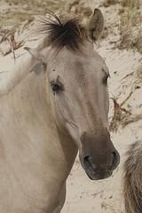 portret (Ren Mouton) Tags: horses holland d50 coast nikon hiking dunes nederland thenetherlands nikond50 naturereserve bergen duinen noordholland wandeling paarden kust natuurgebied equuscaballus grazers noordhollandsduinreservaat 17augustus2008