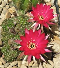 Lobivia arachnacantha (cskk) Tags: red cactus flower cactaceae echinopsis lobivia echinopsisancistrophora lobiviaarachnacantha pseudolobivia echinopsisancistrophorassparachnacantha pseudolobiviaarachnacantha