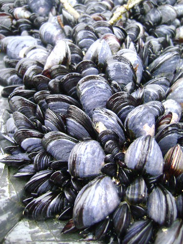 Mussels at Trevone Bay