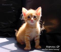 Rubio (Marcos GP) Tags: pet pets peru cat lima gatos mascota mascotas theunforgettablepictures marcosgp