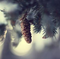 {pinekeh} (Leaca's Philosophy) Tags: flowers winter nature alaska pine canon fun happy photography dof bokeh 50mm14 spruce mybackyard fiddy pinecones primelens 50d leaca natureystuff leacasphilosophy cinnamonroseactions