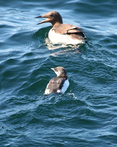 Common Murre Chick