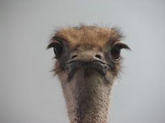 Ostrich (s.kosoris) Tags: toronto bird canon rom s3is canonpowershots3is skosoris
