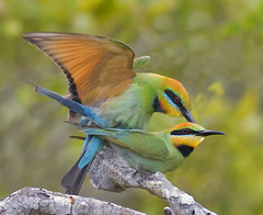 Making babies Rainbow Bee-eaters (scuze a me) Tags: group vision rainbowbeeeater dragondaggerphoto
