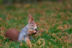 Another Punk Squirrel (Philipp Klinger Photography) Tags: autumn red green eye fall grass germany hair fur deutschland grey eyes squirrel europa europe hessen eating frankfurt tail eat claw ear nut philipp claws hesse klinger aplusphoto dcdead nikonflickraward50mostinteresting punkhehehemanwathatderpfoten