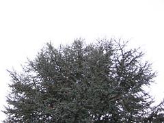 Nadelbaum (Jerry Kinderman) Tags: fichte tanne nadelbaum