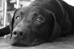 esse preto faz um charme... (alineioavasso) Tags: bw dog black co labrador cachorro haruu