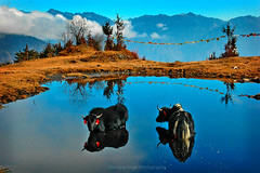 Yak @ Heart Lake, Tawang, Arunachal Pradesh, India (Jitendra Singh : Indian Travel Photographer) Tags: travel blue winter yak mountain lake black mountains tree art nature water animal pond couple paradise transport wide young bluesky tourist hills cpc vegetation bathing arunachal tawang jiten travelphotography jitendra reflectionsonwater arunachalpradesh jitender travelphotographer jitendrasingh indiaphoto jitens bestphotojournalist indiantravel wwwjitenscom gettyphotographer bestindianphotographers jitensmailgmailcom wwwindiantravelphotographercom famousindianphotographer famousindianphotojournalist gettyindianphotographer