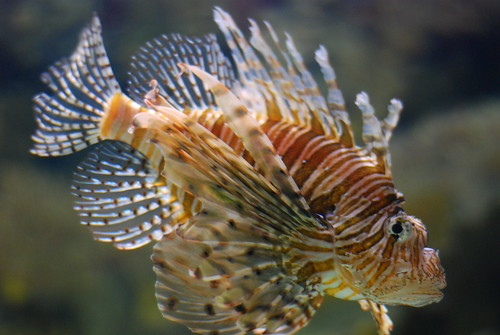 We cleansed our palattes of cowboy at the Shark Reef Aquarium. Here is one of the poisonous Lion fish.