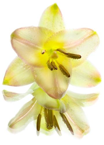Transparent Lily