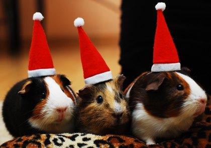Meerschweinchen feiern auch Weihnachten