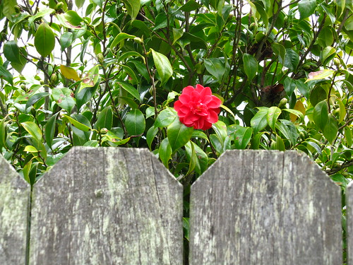borrowed camelia