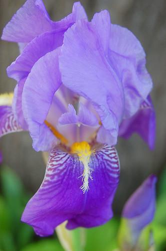127:365 Iris