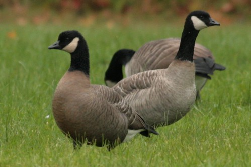 2 Cackling Geese on Friday!