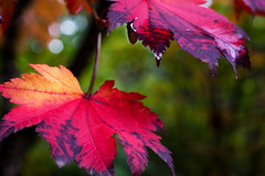 equinox (Eyes of the Muse) Tags: autumn red color macro rot fall 20d nature wet leaves oregon composition digital canon season rouge outdoors gold leaf maple rojo purple depthoffield vermelho eugene rood rosso hendrickspark     ivyhutchison