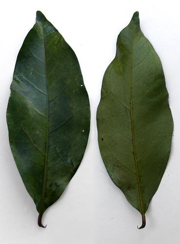 Salaamblad, daun salam, indische laurier