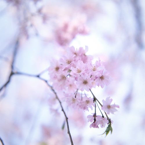 Sakura -the symbol of Japan