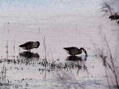 Canada geese (pastough) Tags: georgia canadagoose brantacanadensis fayettecounty lakehorton may2011
