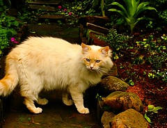 Gato angor / Angora cat (Valcir Siqueira) Tags: animals cat gatoangor