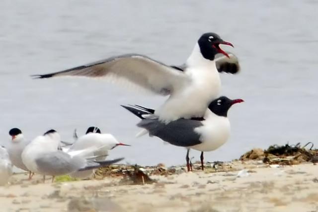 gull piggyback