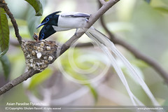 Asian Paradise Flycatcher (GHULAM RASOOL MUGHAL) Tags: pakistan male bird birds parents long with nest feeding tail feathers n chick chicks hungry ghulam rasool asianparadiseflycatcher signsofnature