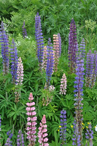 Lupine in Sweden...