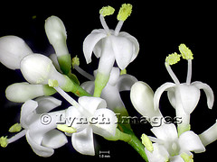 Ligustrum quihoui 2B (Lynch Images) Tags: scope exotic ornamental dicot magnoliophyta angiosperm cultivar dicotyledonae magnoliatae