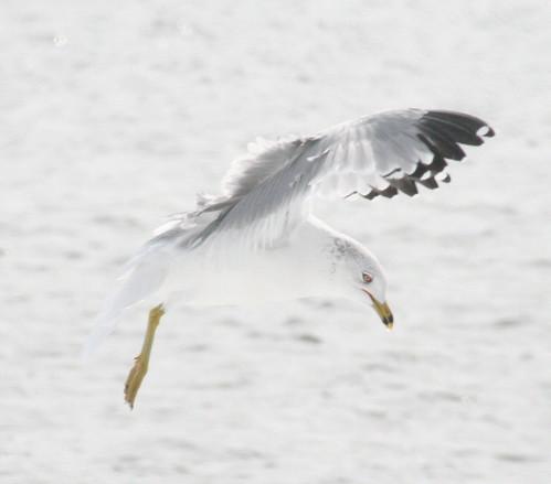 ring-billed in flight
