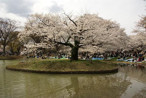 Hanami - Cherry Blossoms 2370860851_82604761aa