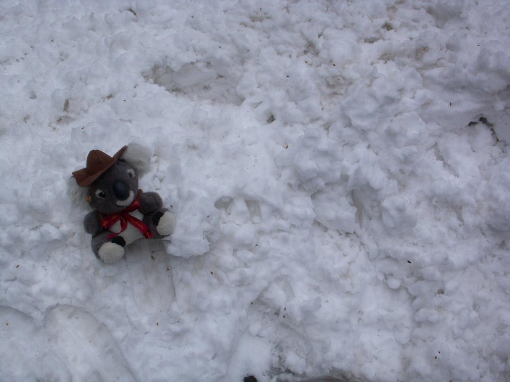 koala en la nieve