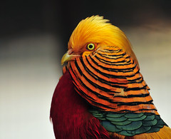 Golden Pheasant (ozoni11) Tags: bird birds animal animals nikon pheasant pheasants goldenpheasant chrysolophuspictus d300 blueribbonwinner animaladdiction michaeloberman goldenpheasants ozoni11