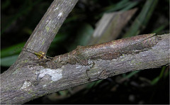 Perfectly camouflaged bark stick insect (Prisopus berosus), BCI, Panama (Arthur Anker) Tags: macro nature insect rainforest colorado insects camouflage stick panama barro phasmid stickinsect phasmatodea bci